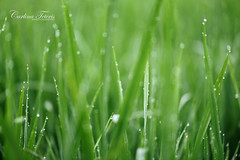 early morning (cteteris) Tags: morning green water grass early drops rice paddy bokeh farm fresh dew agriculture laos luangnamtha muangsing 105mm28vr natureycrap nikond700 gettyimagessingaporeq2