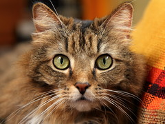 Abby (Mr.TinDC) Tags: pet cats pets cute animals cat eyes abby kitteh kitties felines cateyes catseyes longhaired mainecooncats mainecooncat longhairedcats