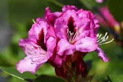 Rhododendren (gartenpark) Tags: dornbirn feldkirch sterreich pflanzen blumen bregenz garten rankweil bludenz aut vorarlberg grtner geringer sterreich gartenpark
