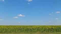 Zonnebloemvelden