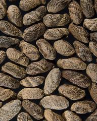 Phebalium daviesii seed (ii)