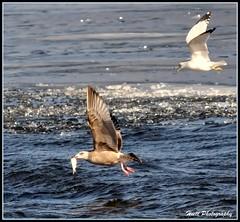 Yakety Yak... (ragtops2000) Tags: blue fish ice nature water flying nikon seagull explore picnik d300 lakeogallala yaketyyak sigma150500