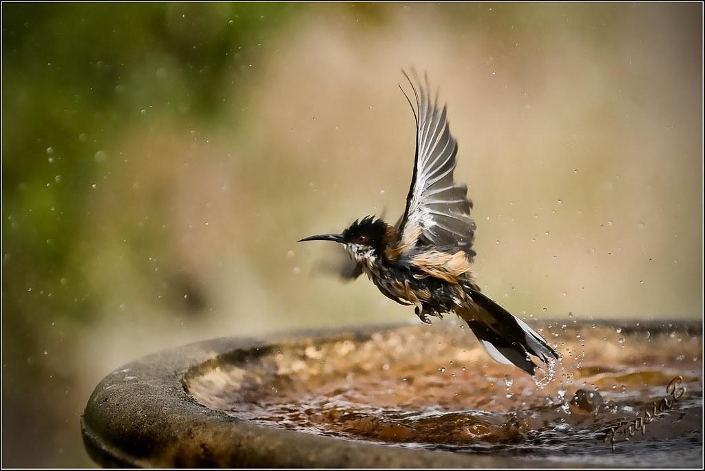 Eastern Spinebill bathing