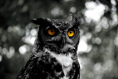 Black-phased Great Horned Owl (Ralf Nowak) Tags: ontario canada bird nature birds animal fauna nikon wildlife great raptor owl captive birdofprey greathornedowl puchacz bubo horned vineland ptak bubovirginianus ballsfalls ptaki sowa virginianus d40 sowy ballsfallsconservationarea nikond40 skyhunters puchacze blackphasedgreathornedowl skyhuntersraptorshootphotoseminar blackphased raybarlowworkshop wwwraymondbarlowcom