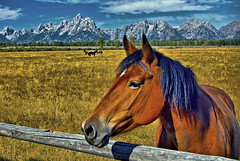 Pastoral Pasture Revisited (Jeff Clow) Tags: horse mountains searchthebest meadow pasture equine grandtetonnationalpark 1xp jacksonholewyoming anawesomeshot dynamicphotohdrsoftware jeffrclow
