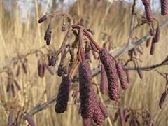 Elzenkatjes (Wontolla65) Tags: trees holland bomen nh alkmaar januari noordholland alnusglutinosa betulaceae zwarteels
