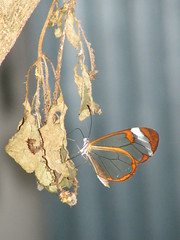 Glasswing (RvO) Tags: amsterdam butterfly zoo artis vlinder dierentuin glasswing glasvleugel