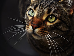 Gatto Mimmo occhieggiante (Gatto Mimmo) Tags: cats beauty cat eyes chat tabby occhi sguardo gato gatto beau figo naso muso bello fico mimmo baffi belloccio kittysuperstar bestofcats 5boc