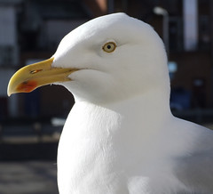 Poser (Toffycrackle) Tags: closeup seagull beak feathers otw avianexcellence