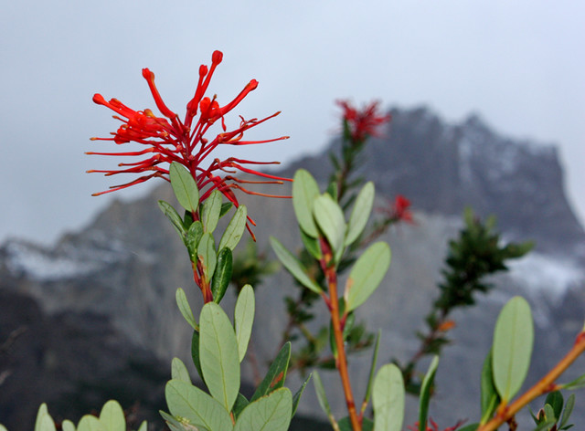A notro flower with Los Cuernos in the background