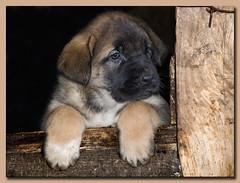Cachorros (II) (montse lago) Tags: españa olympus perros león mascotas españoles zd40150mm mastines e520