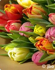 tulips (bornschein) Tags: pink flower green nature consumption