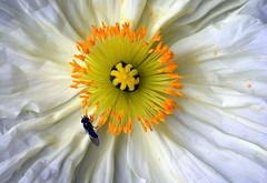 White Poppy-1-C95_437 (Cap001 - Dan) Tags: california macro closeup petaluma wmp gmt whitepoppy beautifullighting supershot worldbest ultimateshot worldmasterpiece theperfectphotographer fotosconestilo