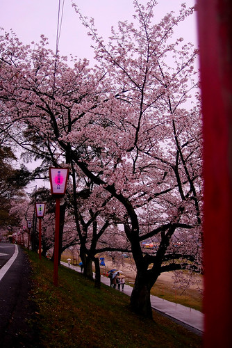 Cherry blossoms 09'