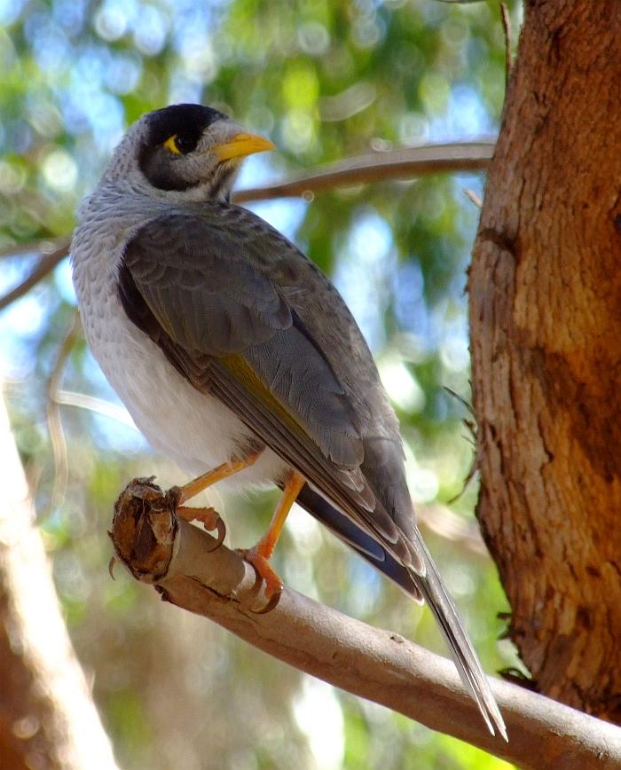 australian miner bird