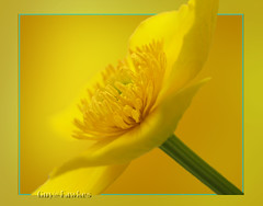 Spring Collection......two....................... dedicated to Ruth Flickr. (Guy@Fawkes) Tags: flower dedication yellow petals spring ngc 1001nights marshmarigold caltha kingcup simplybeautiful rubyphotographer 100commentgroup vosplusbellesphotos mmmilikeit