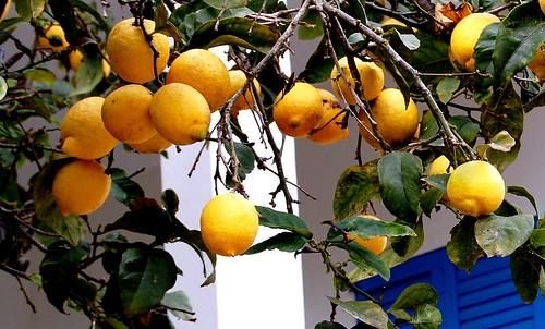 Rama de limonero DSC_1127