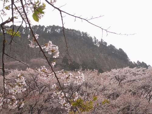 【桜】『屏風岩公苑』@曽爾村
