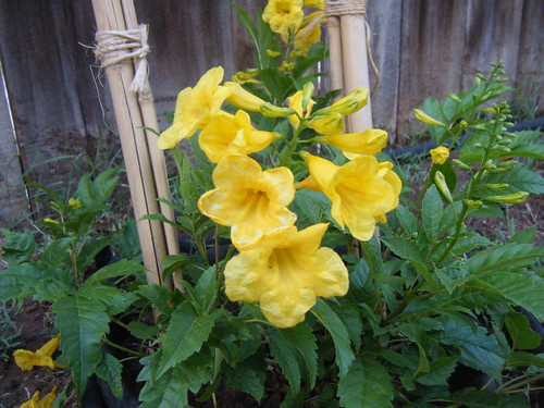 Yellow bells esperanza picture