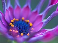 Flame (sonohigurasi_photo) Tags: blue flower macro nature