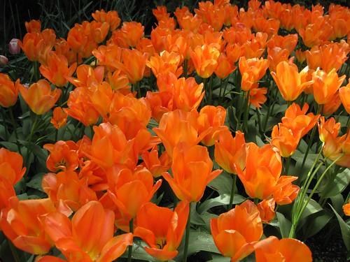 Skagit Tulips - 50