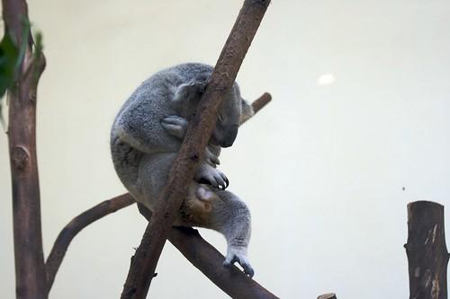 树袋熊15