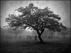 The Graveyard Tree (Cul 9) Tags: trees mist tree cemetery graveyard fog headstones southshields gravestones seafret digitalcameraclub blackwhitephotos westoecemetery tombstoned