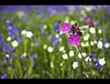Pink amongst Blue (Flickr Themed) (edmundlwk) Tags: pink flowers blue grass bells rebel spring flickr colours bokeh warwick xsi sigmalens sigma30mmf14 abigfave canon450d vosplusbellesphotos edmundlim