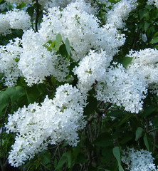White Lilacs in Boston (randubnick) Tags: art boston photography massachusetts harvard photograph harvarduniversity bostonma jamaicaplain mothersday arnoldarboretum arborway whitelilacs lilacsunday