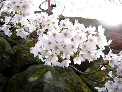 sakura 519 (some random neff) Tags: japan aomori sakura hirosaki