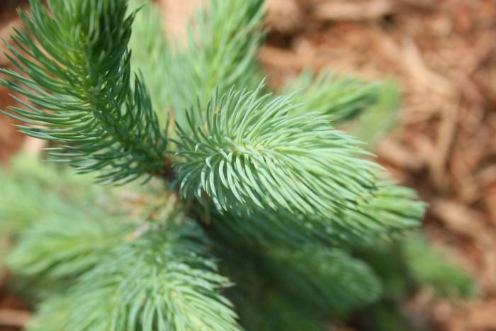 05-11-spruce2