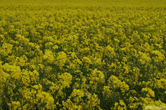White Cliff (EyeCatchr) Tags: uk greatbritain flowers england yellow spring 2009 dover unitedkingdon whitecliff