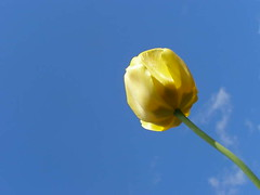 No Rain (Highway Royalty ~ ~) Tags: blue sky yellow spring ps tulip norain blindmelon everybodys sooc happybluemonday