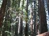 Creaking redwoods (jbaugher) Tags: california tree redwood stoutgrove crescentcity giantredwood jedediahsmith creaking jedediahsmithredwoodsstatepark stoutmemorialgrove