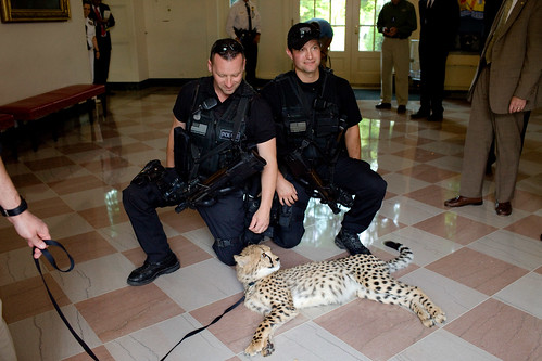 Security guards pet a Cheetah that animal expert Jack Hanna and his trainers brought to the White House, May 13, 2009.
