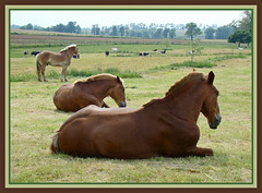 Mick Jagger's Song (Photographic Poetry) Tags: horse paradise country amish beast intercourse lancastercounty mule bucolic beastofburden