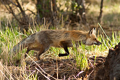 On the Prowl (jrtchris) Tags: nature wildlife fox yellowstone stalking vulpesvulpes