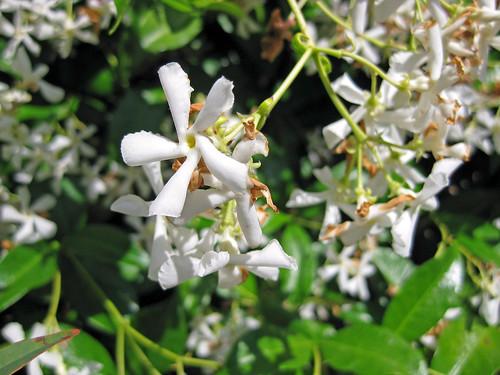 Garden- Jasmine