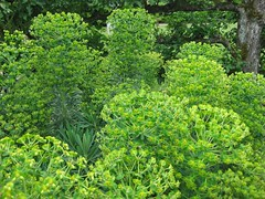 Euphorbias (keepinsidethelines) Tags: euphorbias
