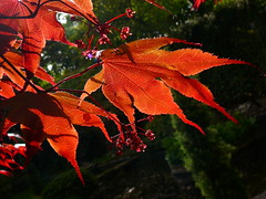 Maple on Green (the noggin_nogged) Tags: red wallpaper green leaves gardens garden leaf maple branch forrest wentworth acer colorphotoaward