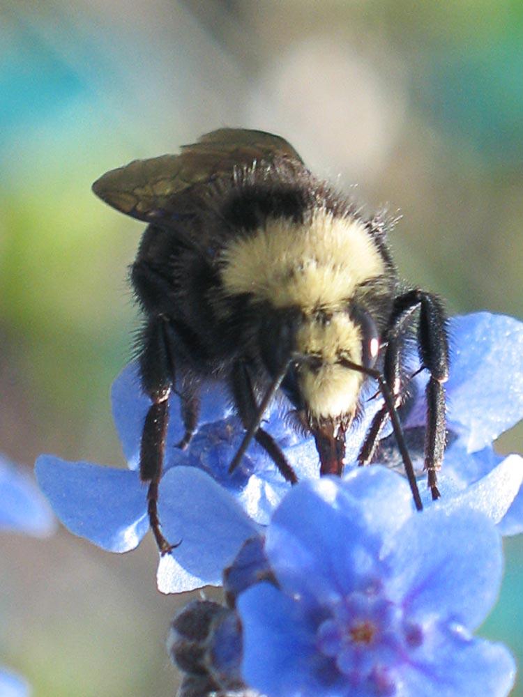 bee, garden
