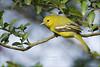 Common Iora (Aegithina tiphia) (Z.Faisal) Tags: bird nikon feathers aves dhaka nikkor avian bipedal bangla faisal d300 zamir savar iora commoniora aegithinatiphia pakhi endothermic nikkor300mmf4 jahangirnagar fotik jahangirnagaruniversity aegithina tiphia zamiruddin fotikjol zamiruddinfaisal zfaisal beakbangladesh deshnature fatikjal patifatikjal