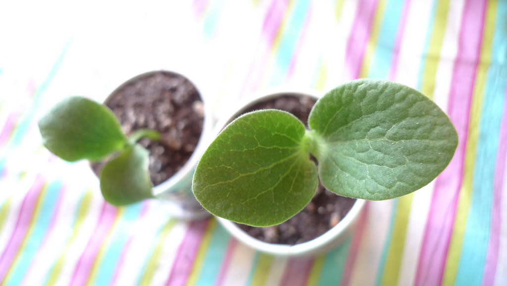 pumpkin seedlings