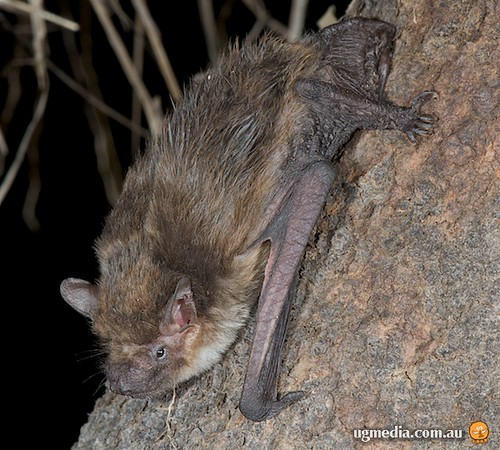Little broad-nosed bat (Scotorepens greyii)