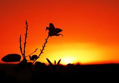 flor e sol (Edison Zanatto) Tags: sunset brazil naturaleza sun flower sol southamerica nature braslia brasil backlight sunrise contraluz landscape atardecer soleil nikon natureza natur laranja flor paisaje paisagem prdosol  crpuscule landschaft sonne rvore paesaggi ocaso sonneuntergang alvorada tarde contrejour controluce anochecer anoitecer coucherdesoleil crepsculo nascente contrallum puestadelsol americadosul poente puestas fimdetarde luscofusco sdamerika centrooeste nikond200 dilculo postadelsol regiocentrooeste crepsculovespertino postadosol continentesulamericano edisonzanatto