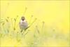 True colors shining through (hvhe1) Tags: flower green bird nature animal yellow wildlife rape rapeseed koolzaad whitethroat interestingness3 grasmus specanimal hvhe1 hennievanheerden