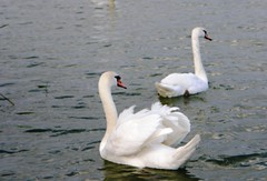 Lac Balaton - Swan lake (Amberinsea Photography) Tags: white