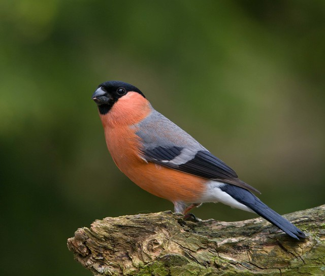 male bullfinch on branch 3