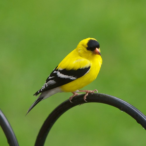 American Goldfinch, male