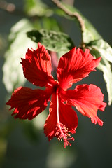 Images We Create Are Essentially Self-Portraits! (bigbrowneyez) Tags: camera light red sunlight selfportrait motion flower macro green nature beautiful leaves shadows dof bright image sweet bokeh livingroom hibiscus tiny stamen sensational fabulous depth blessed itsallaboutthelight happybirthdaybrandon ringexcellence picotedges imageswecreateareselfportraits